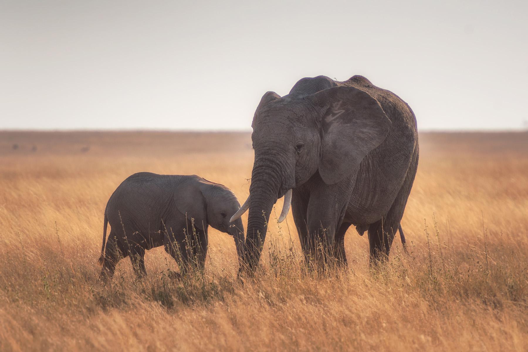 Ban Elephant