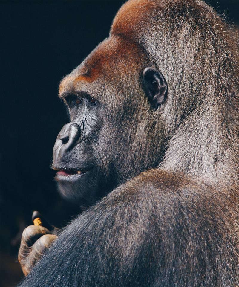 6ème extinction gorille espèce menacée