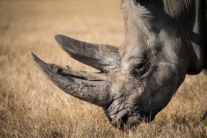 Rhinocéros Inaudible Voices - programme de protection des espèces menacées créé par Free Spirit