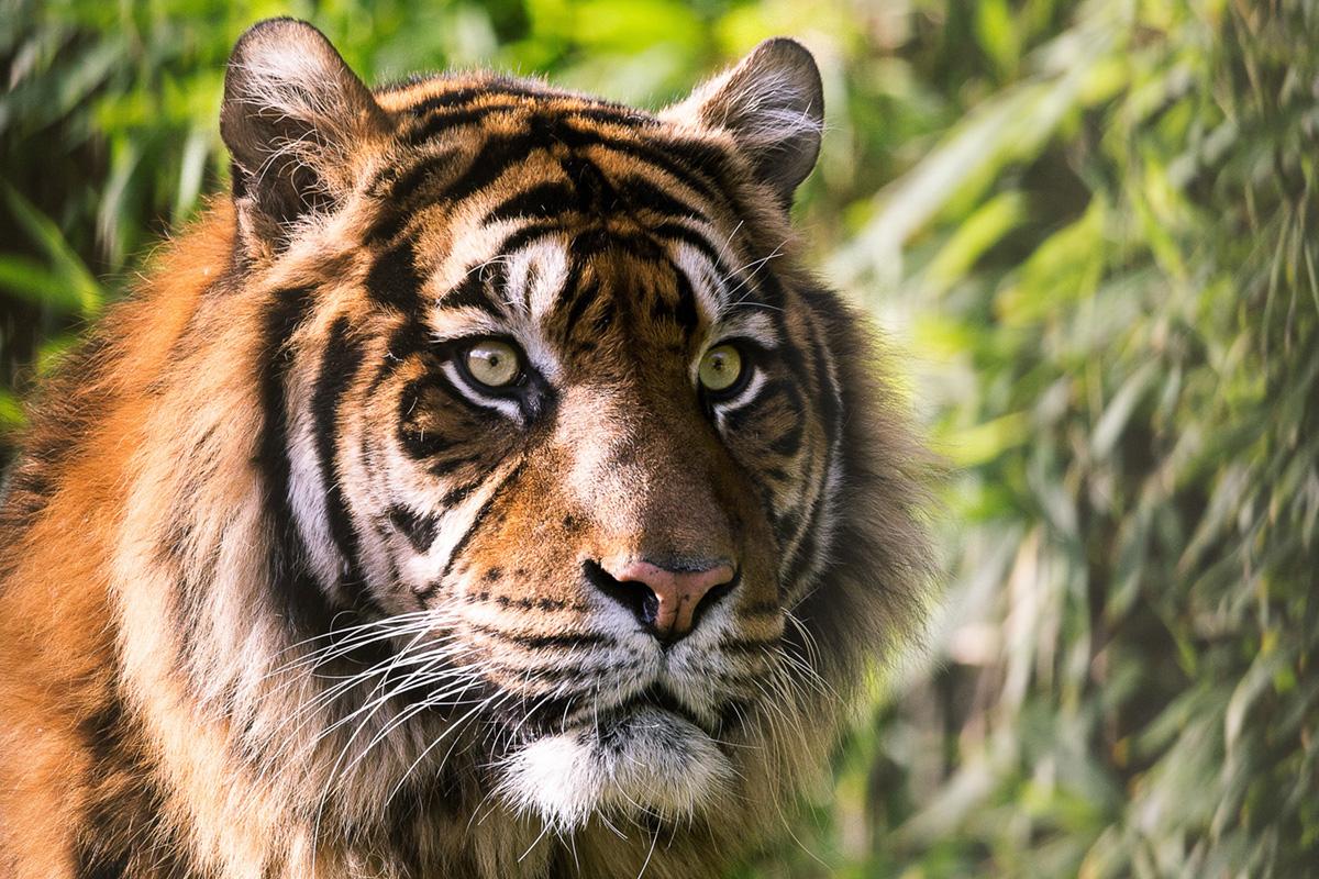 ban Tigre15