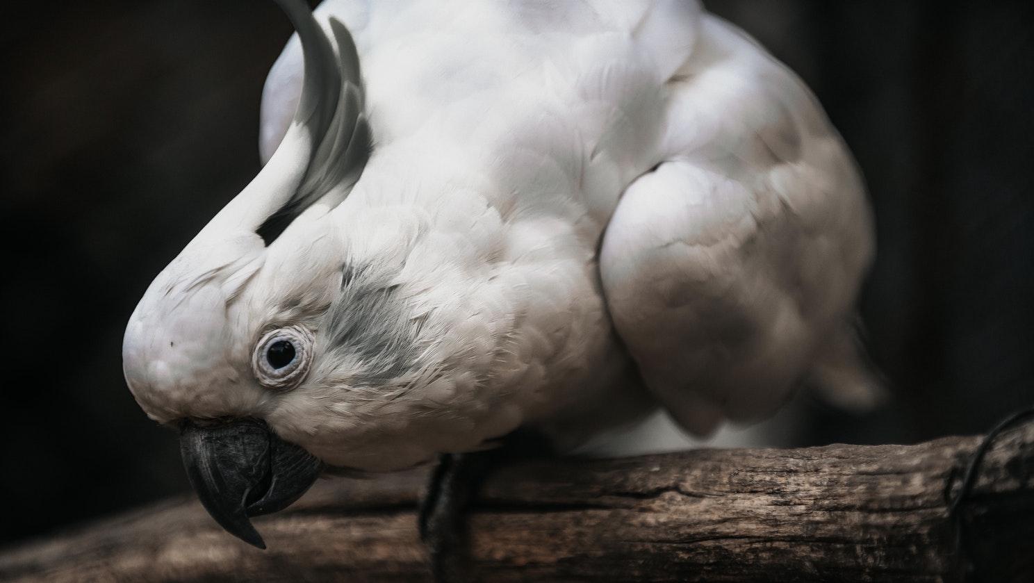 cacatoès espèce menacée - Inaudible Voices - programme de protection des espèces menacées créé par Free Spirit