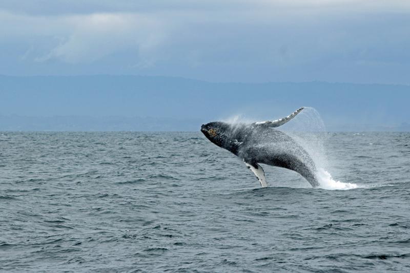 Baleine espèce en danger inaudible voices océans