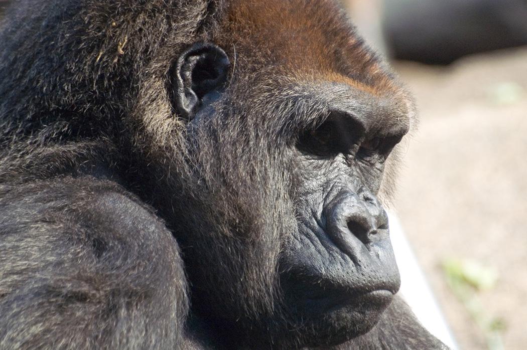 Ban Gorille 2
