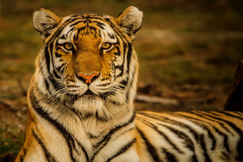Ban Tigre