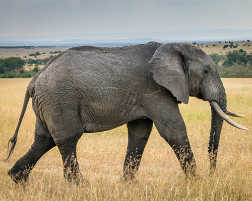 Protection des espèces menacées l'éléphant liste rouge IUCN