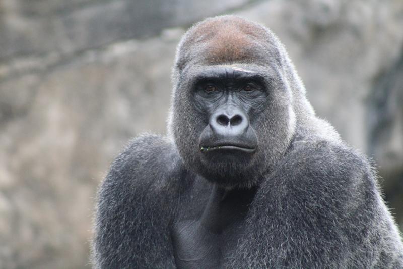 gorille espèce menacée