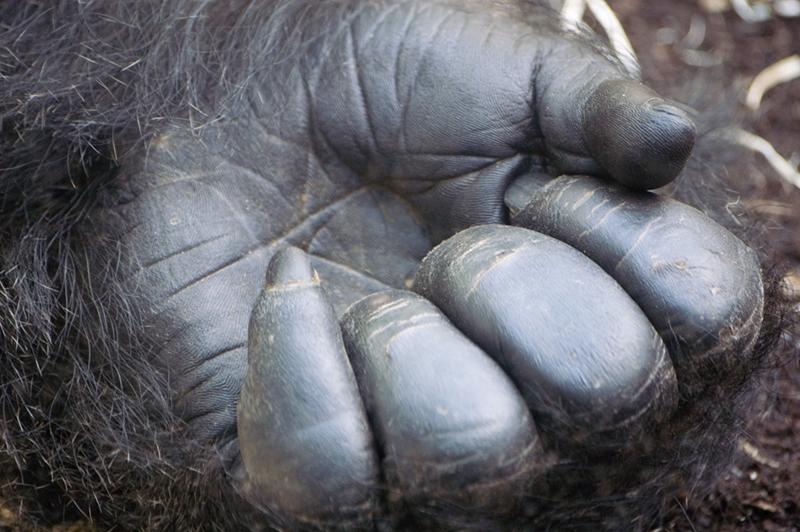 gorilles espèce menacée
