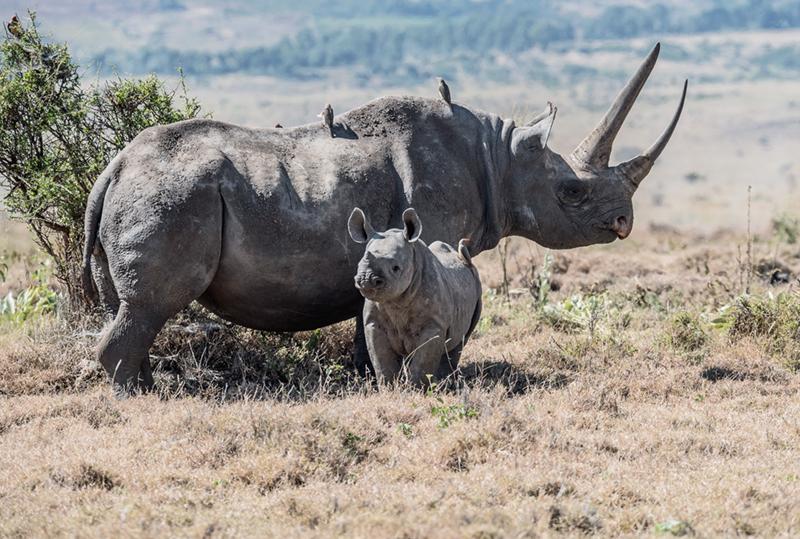 Inaudible voices - Rhinocéros de java espèce menacée en danger critique