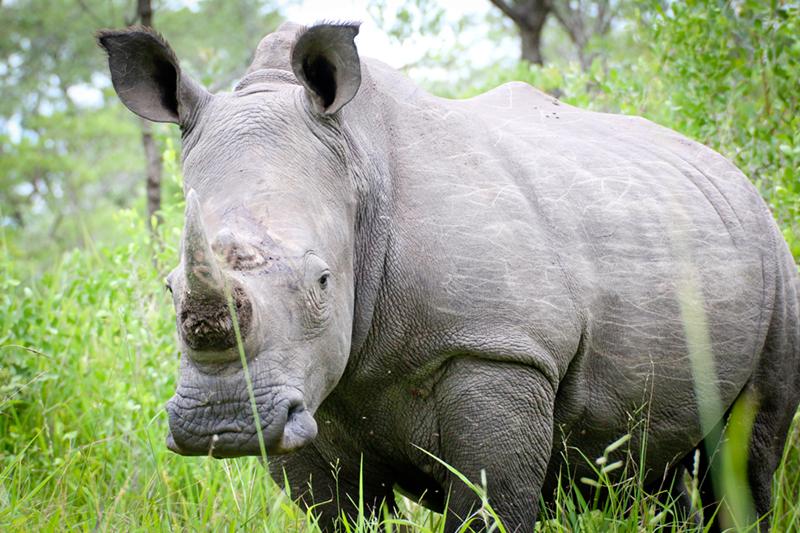 Rhinocéros noir en danger critique espèce menacée Inaudible voices