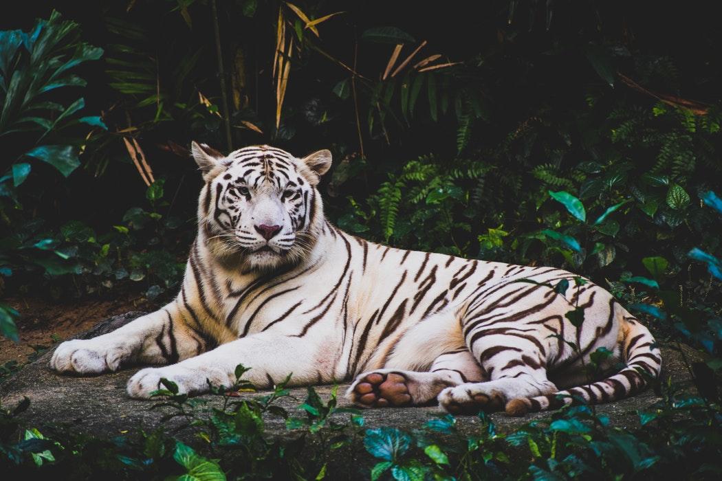 Tigre blanc espèce en danger Inaudible voices