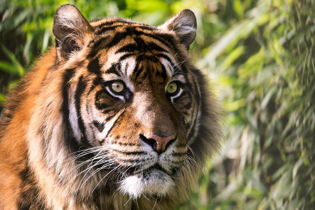 Tigre espèce en danger Inaudible Voices