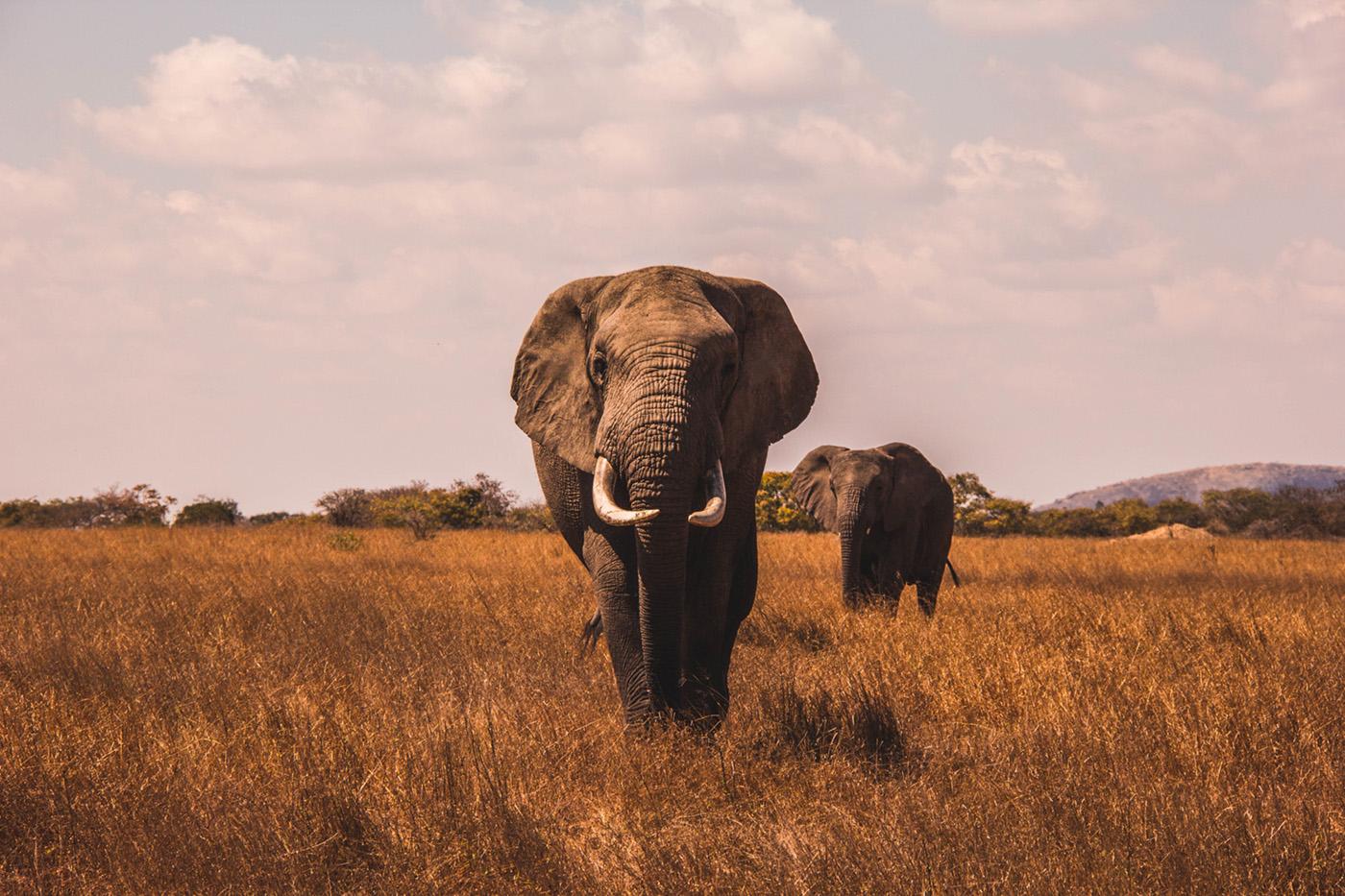 ban Elephant mini v2