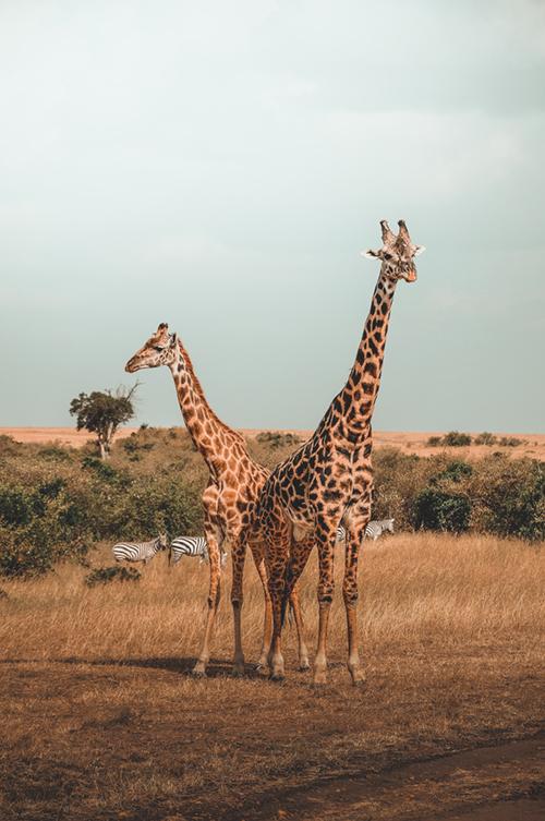 IPBES Girafe rapport 1 million d'espèces