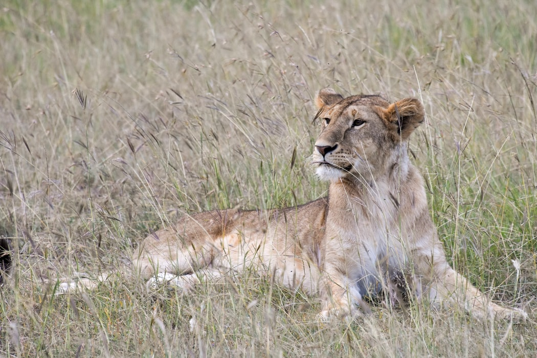Inaudible Voices protection des lions au Kenya