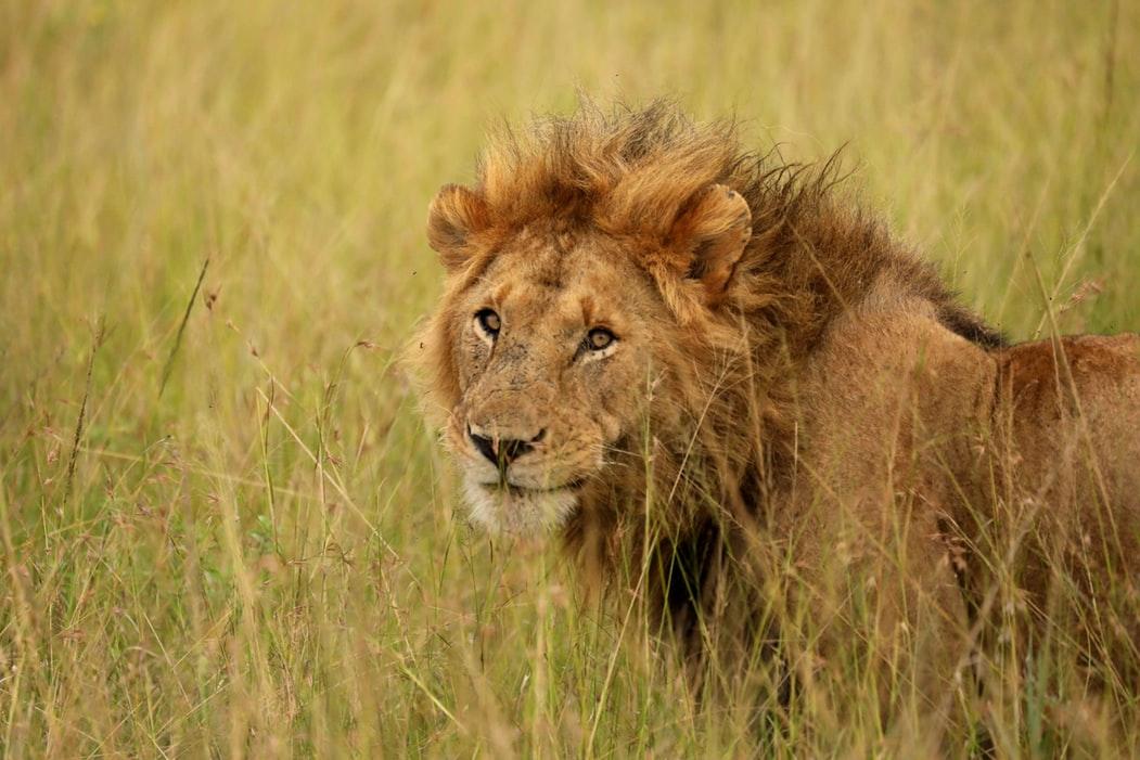 Protéger les lions au Kenya qui sont menacés de disparition