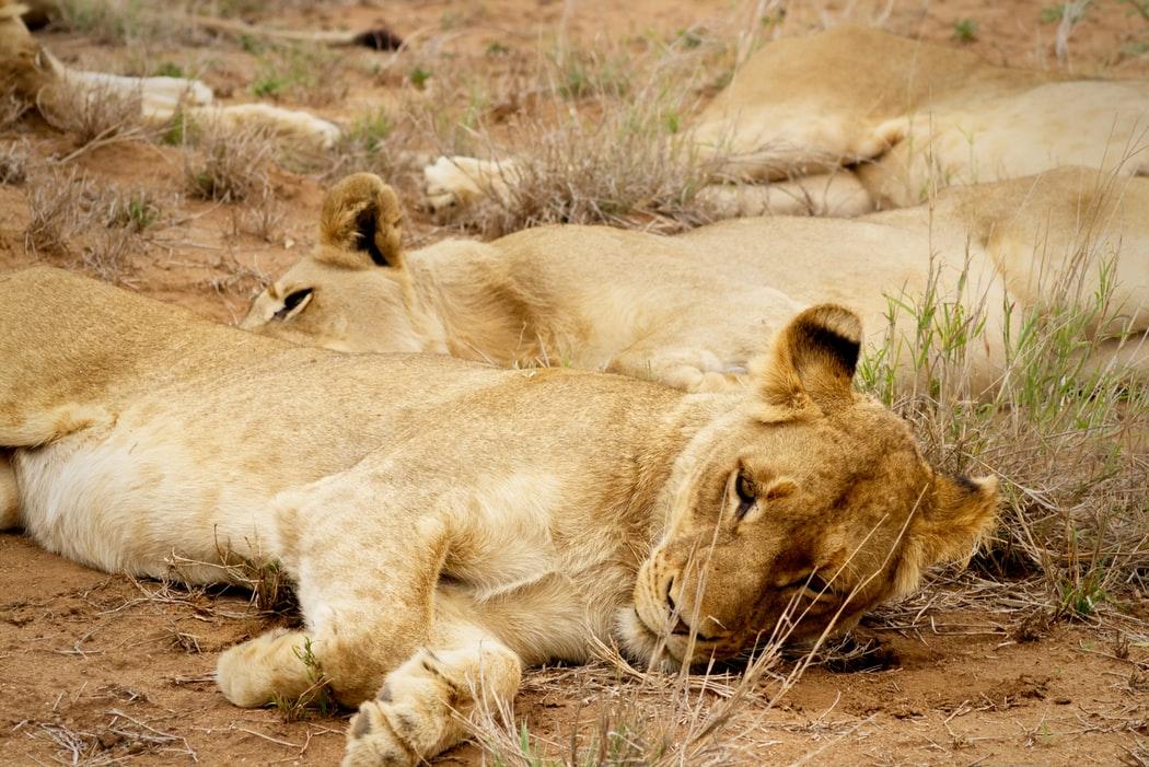 préserver les lions en Afrique Inaudible Voices