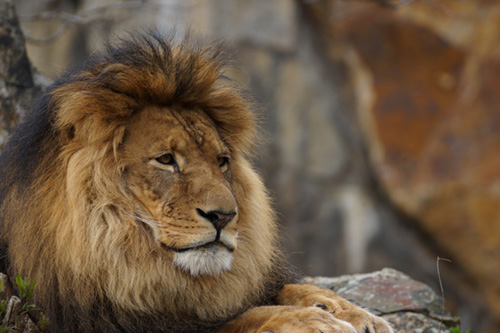 Cohabitation entre les félins lions et les hommes en Afrique